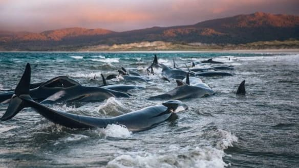 'The worst experience of my life': Hikers' battle to save pod of beached whales
