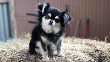 Keni the chihuahua was killed by a husky at the Altona dog beach on Good Friday.