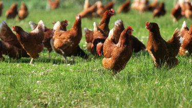 Are chickens actually happy out in a paddock?