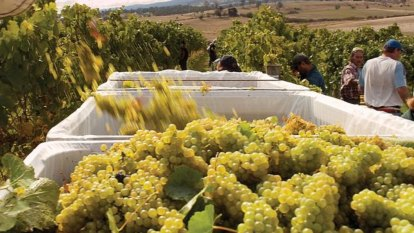 ACCC adds more heat to winemakers over payment terms with growers