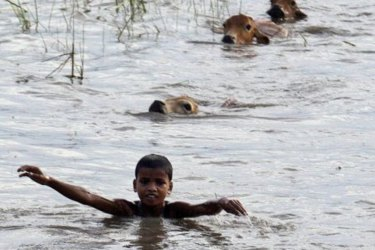 Boys swim with their cattle through flood waters, as they seek higher ground, during floods in India in 2015. The national government is working with Google to improve forecasting of riverine flooding..