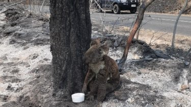 Urgent koala mapping requested to gauge the impact of recent bushfires