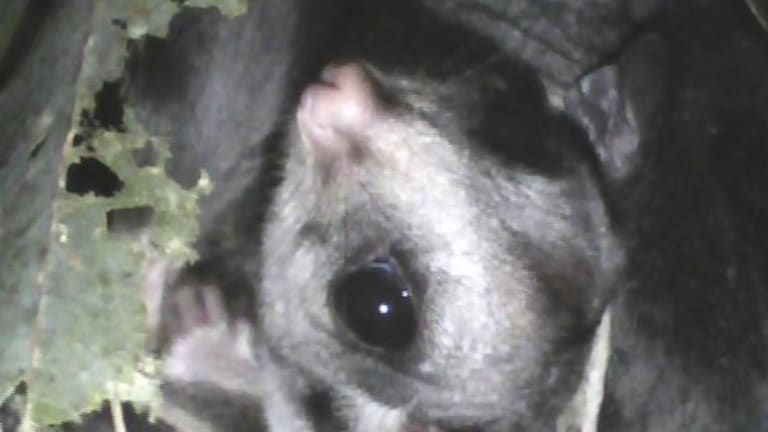 A sugar glider sheltering inside one of the chainsaw hollows is captured by the researcher's digital burrow-scope camera.
