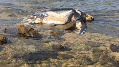 Dead leatherback turtle washes onto Victorian beach