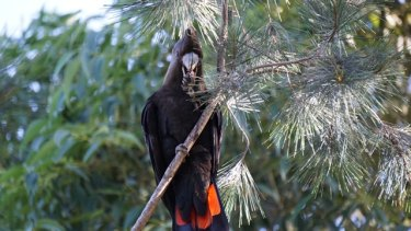 A rare Glossy Black Cockatoo, spotted on the fringes of Melbourne for the first time in 150 years.