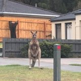 The kangaroos are often seen near local streets.