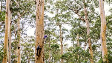 Pemberton's tree top walk