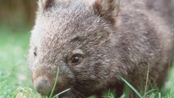 'Deep bite': Wombat takes a chunk out of woman's leg