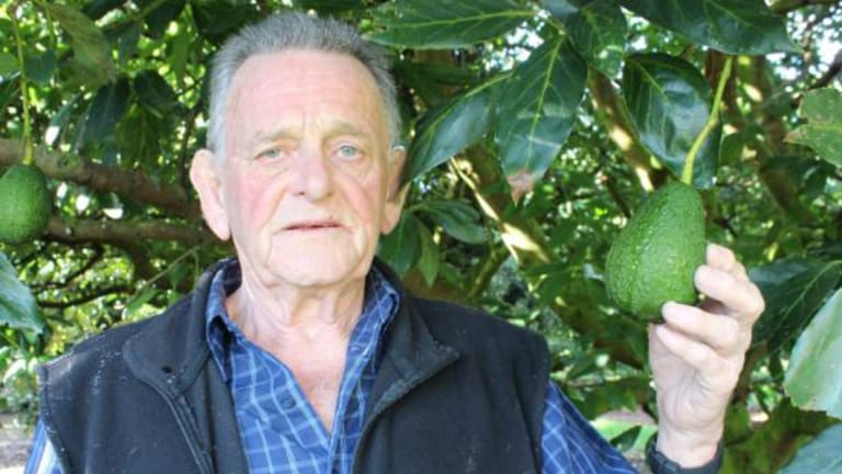 Kaikohe avocado farmer Graeme Burgess had 115 trees stripped of fruit by thieves.
