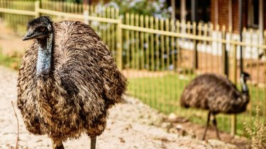 One of Parkerville tavern's main attractions is its emus.