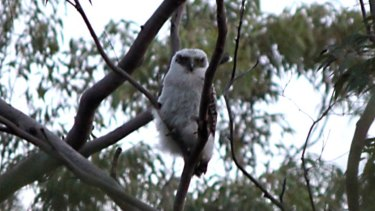 The Powerful Owl chick waits for its parents to return.