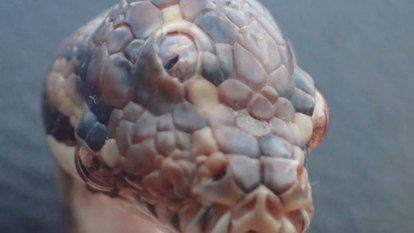 Only in the Territory: Three-eyed snake found near Darwin