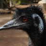 Emu dies in collision with Harley-Davidson rider on Queensland road
