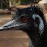Emu dies in collision with Harley-Davidson rider on Queensland road