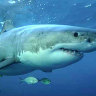 Diver swam with great white for 'five minutes' before it bit his fin off: WA fisheries