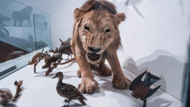 Melbourne Museum is closing its popular taxidermy animal exhibit Wild.