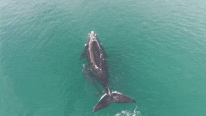 'Just breathtaking': The moment scientists spotted rare whales in Jervis Bay