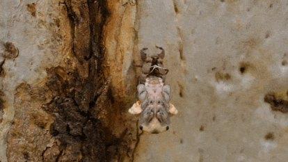 'Just like a freight train': cicadas' song hints at bushfire bounceback