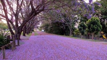 Jacarandas in bloom at Imbil.