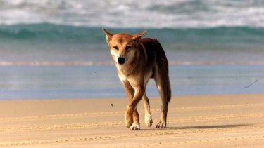 A dingo which attacked an eight-year-old boy on Fraser Island last weekend has been put down after exhibiting a pattern of dangerous behaviour.