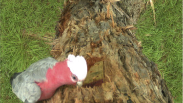 A galah inspects one of the chainsaw hollows – but is too large  fit through the 35mm entrance hole.