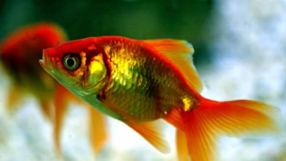 Even goldfish could be banned - until now