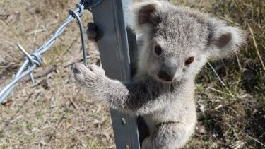 Koalas are in strife across eastern Australia, including in NSW where the WWF estimates the animal faces extinction in the state by 2050.