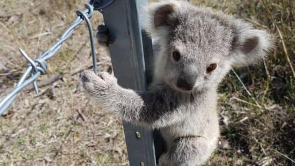 'Alarming': State ignoring koala data as icon heads towards extinction