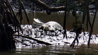 A three-metre saltwater crocodile in the Cairns area. The animals range from the tip of Cape York as far south as Mackay.