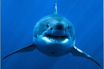No great white sharks have been spotted in waters off Cape Town this year.