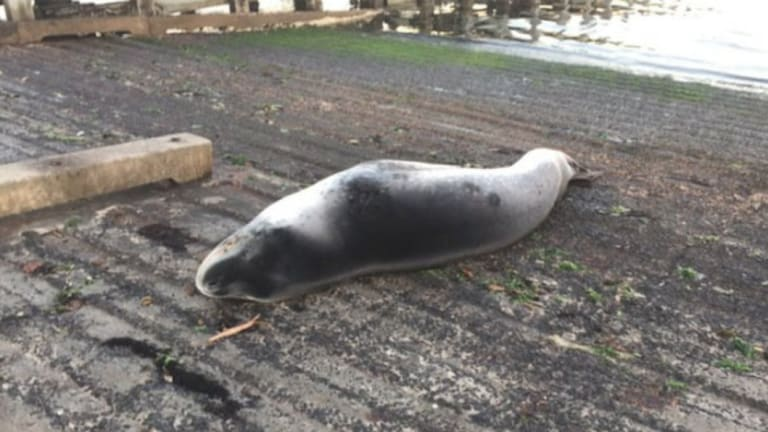 Police were alerted to a slumbering seal at Brighton Beach this morning.