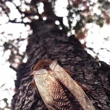 A cicada in a tree in Sydney's northern beaches.