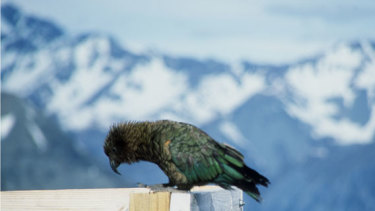The Kea, the world's only alpine parrot, and winner of New Zealand's Bird of the Year contest in 2019.