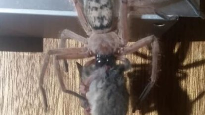 'Mate, don't freak out': Extraordinary pictures show a huntsman spider trying to make a meal of a possum