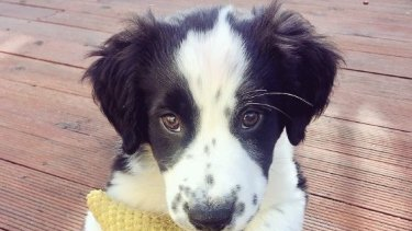 Zorro, the pup hoping to help scientists track the elusive masked owl in the forests of Tasmania.