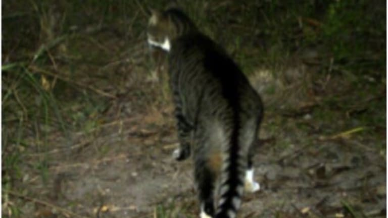 Feral cats are the major threat to the northern bettong.