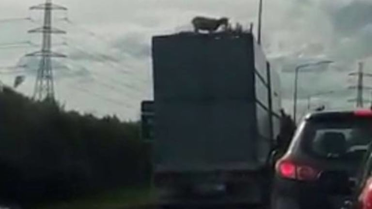 The sheep was seen on top of a truck on Auckland's southern motorway on Sunday evening.
