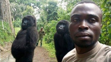 'They mimic everything we do': How a park ranger got two gorillas to pose for a selfie