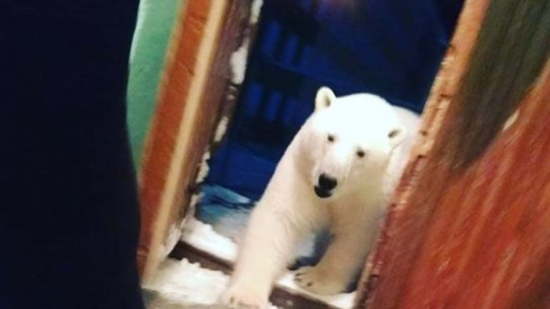 Polar bears have invaded an island town. Locals are terrified of them and climate change
