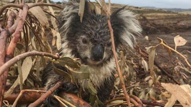 A koala injured in a logged blue gum plantation at Cape Bridgewater, near Portland. The animal was later put down after being found to have a broken arm.