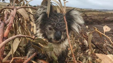 A koala injured in the logged blue gum plantation at Cape Bridgewater. The animal was later euthanised after being found to have a broken arm.