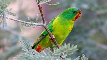 The critically endangered swift parrot.
