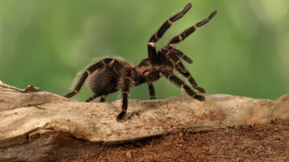 Tarantula venom could produce addiction-free painkillers