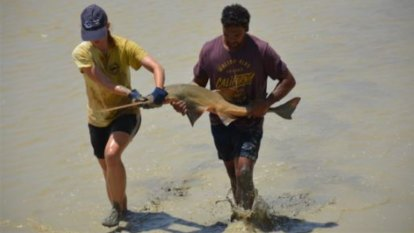 The mad dash north to save Australia's sawfish, slowly baking in a drying pond