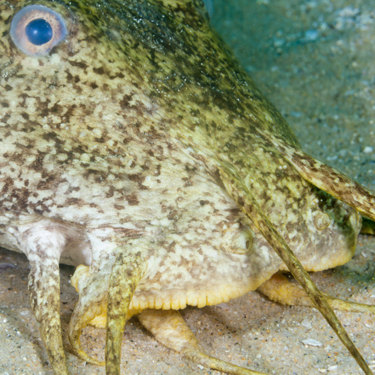 The face of a cobbler fish. Apart from camouflage, its only defence is poisonous spines.