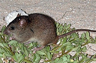 The disappearance of the Bramble Cay melomys is the first known mammal extinction to be directly linked to climate change.