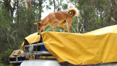 This Fraser Island dingo was stealing food from the roof rack of a tour vehicle.