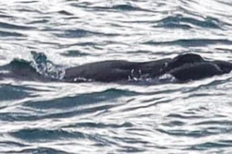 The whale calf is the first seen in Victorian waters this year.