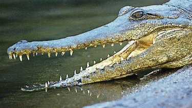 Note how the crocodile has a mouth full of similar, simple teeth.