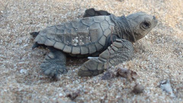 A baby turtle just after hatching on Flinders Beach on the western side of Cape York, Queensland.